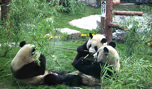 Panda olímpica
