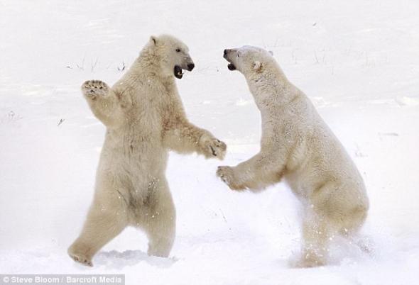 动物打斗精彩瞬间:狮群围攻河马(图)-大杂烩-易班为什么叫山兔子图片