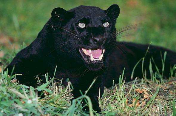 地球上的黑豹