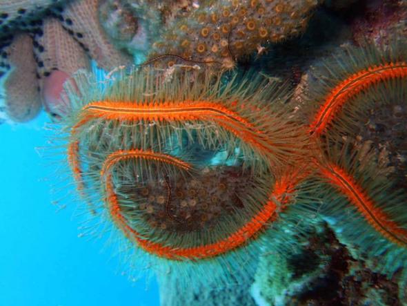 海绵状海蛇尾