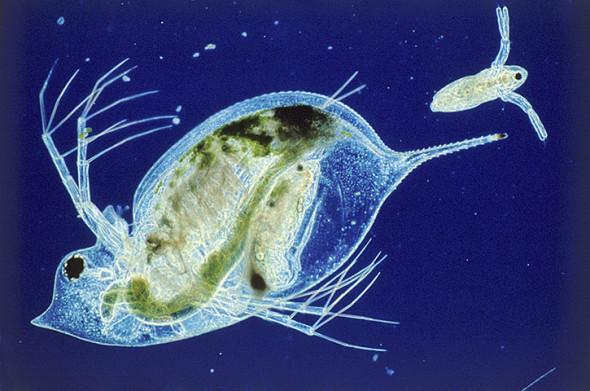 正在生育后代的水蚤