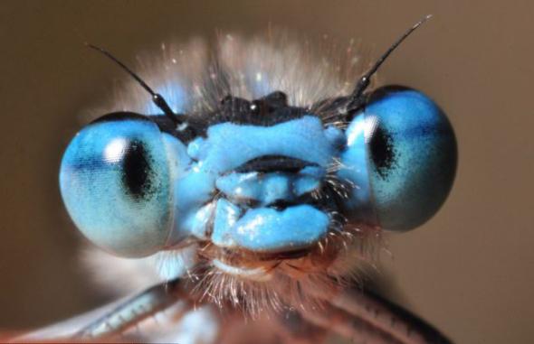 努尔康姆比8月28日在英格兰梅尔顿莫布雷附近的梅尔顿国家公园拍到这只非常常见的蓝色豆娘。