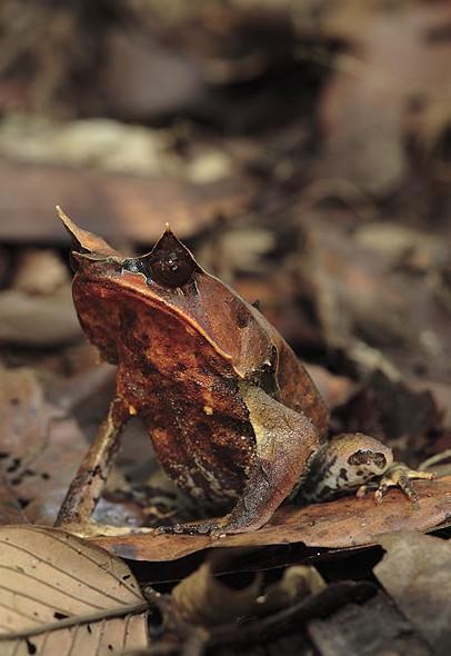 叶角蛙(Leaf-horned frog)
