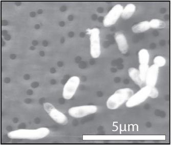 靠吃磷长大的GFAJ-1菌株