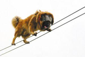 藏獒蒙眼走过15米长的钢丝。