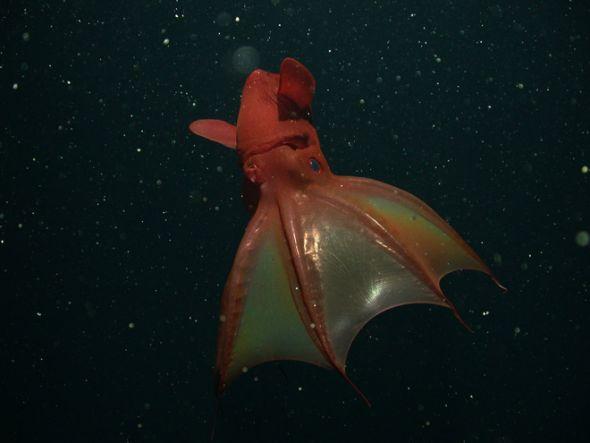 吸血鬼乌贼(Vampire squid)