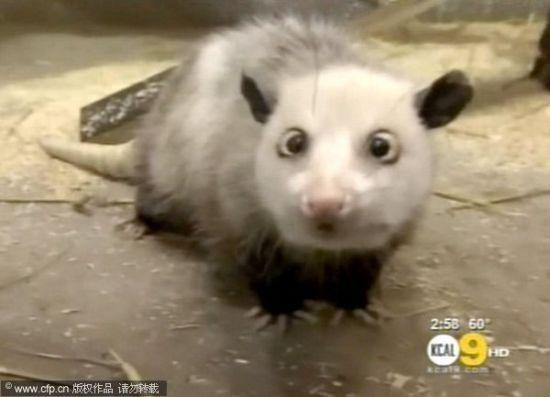 对眼负鼠。