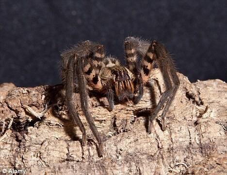 美洲蜘蛛毒液提煉出偉哥療效超藥物(圖)