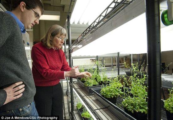 首席研究员朱娜・梅德福德和另一名研究员站在神奇的植物旁边,这种植物在探测到爆炸物时会改变颜色。
