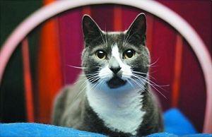 第二名:Sockington,在波士顿街边获救的流浪猫,目前和主人Jason过着奢华的生活,它的Twitter粉丝超过148万。