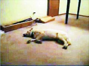 第五名:睡觉梦游的狗Bizkit,Youtube上的访问超过37,000,000。