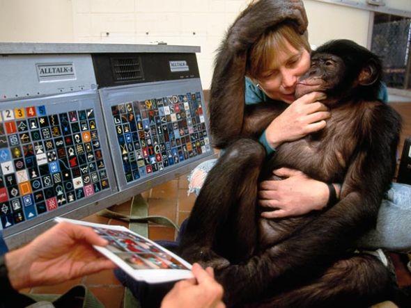 猿类能够像人类一样学习词汇(图片来源:Michael Nichols, National Geographic)