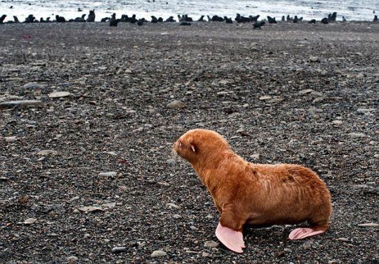 小海豹一直都孤零零地坐在沙滩上,远处岸边上一群其他海豹正在欢闹着。