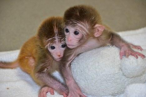 俄勒冈国家灵长类动物中心的科学家培育的小猴子,每只都包含从多个晶胚获得的细胞。科学家表示,这有助于干细胞研究,但是动物保护人士对此非常担心