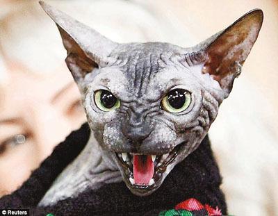 无毛猫外形凶恶,但是性格温顺