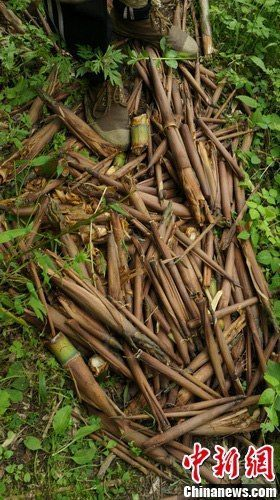 考察队首次发现的大量被开剥食用过的大堆竹笋壳及残留物,散布面积约为0.6平方米。罗永斌 摄
