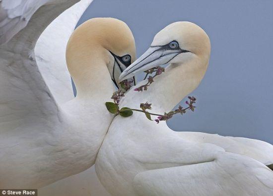爱情鸟:钻石可能是一个女孩的最好朋友。当你生活在英国皇家鸟类保护协会本普顿峭壁壁架上时,一条简单的野花项链也足以让你追求到心上人。