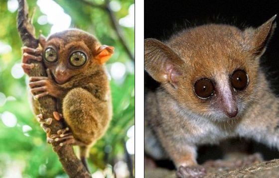 左侧照片展示了东南亚岛屿上的一只眼镜猴,现在已经是濒危物种。右侧照片展示了一只侏儒鼠狐猴,生活在马达加斯加,是世界上最小的灵长类动物