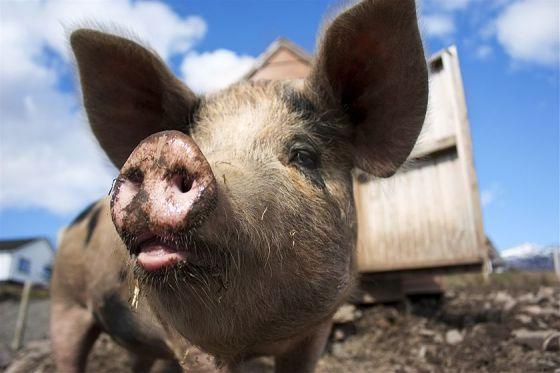 科学家新研究发现转基因作物影响生猪健康