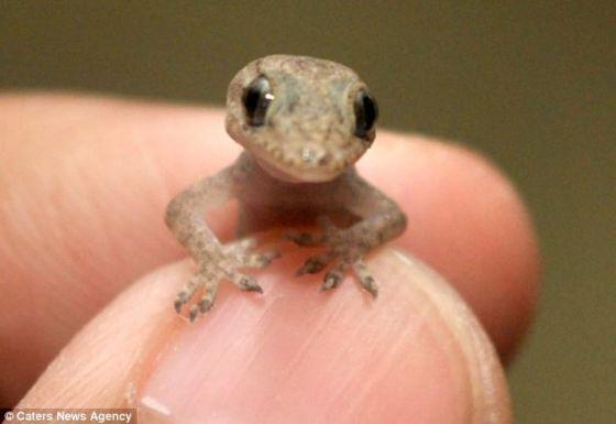 抓拍摄影爱好者兰尼斯克却无法抵抗它的魅力。他第一次捉到这么小的蜥蜴时,它只有他拇指指甲一半大。一年后,它也只长到他手掌那么大。