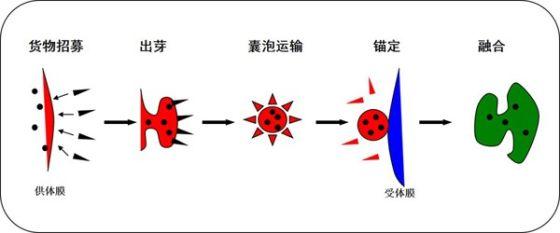 囊泡是由单层膜所包裹的膜性结构,从几十纳米到数百纳米不等,主要司职细胞内不同膜性细胞器之间的物质运输,称之为囊泡运输