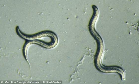 美国研究人员稍微调整实验室蠕虫――秀丽隐杆线虫的两个基因通路,使这种动物的寿命增加5倍。