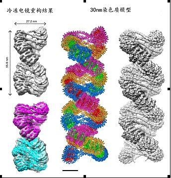30nm染色质左手双螺旋结构模型