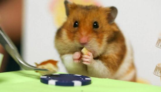 小仓鼠在比赛中。