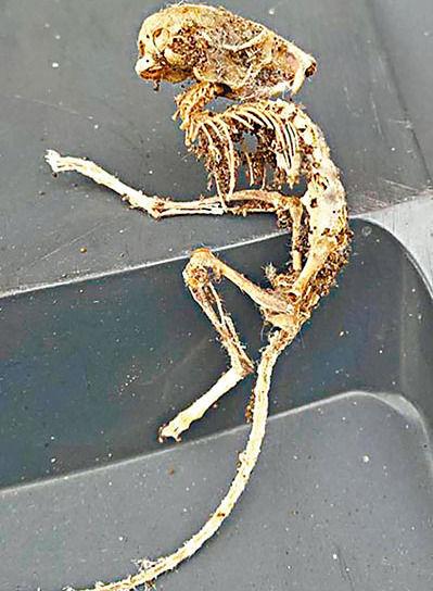 英国男子在家中发现的酷似外星人骸骨。