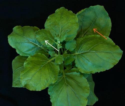 在发现了古代驯鹿粪便中的DNA病毒和RNA病毒之后,研究人员重组了DNA病毒的基因组,以检测其是否具有感染植物的能力。烟草本赛姆氏(Nicotiana benthamiana)品种在接种了古代DNA病毒之后,出现了感染的特征,分别位于接种的叶子(橙色箭头)和新长出的叶子(白色箭头)上。