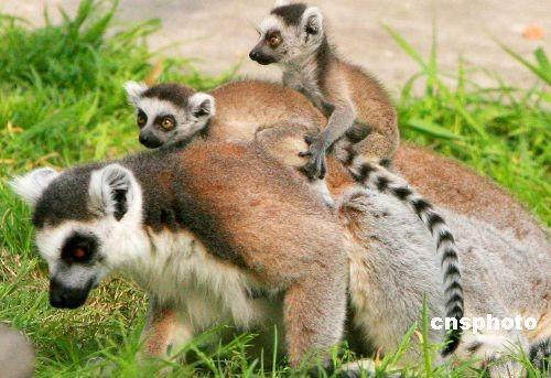 狐猴妈妈带宝宝尽享春游乐