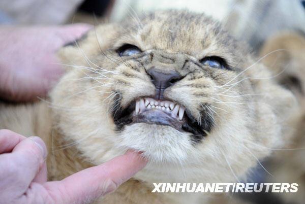1月21日,一只小狮子在接受第一次体检时龇牙咧嘴.新华社/路透