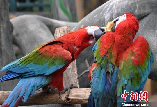 广西南宁动物园内两只鹦鹉争抢