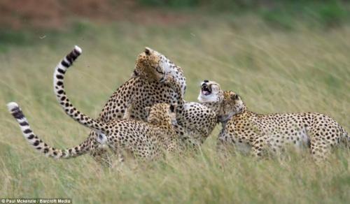 摄影师拍摄猎豹母子温情 豹崽抱妈妈撒娇 组图