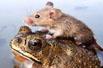 老鼠骑着青蛙逃亡