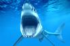 鲨鱼种群生存状况堪忧