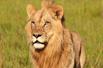 雌狮长出雄性长鬃毛