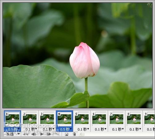 图解用photoshop制作蜻蜓戏荷花动画全过程(7)