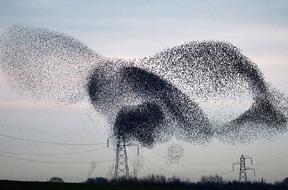 英数万候鸟迁徙栖息高压线致断电