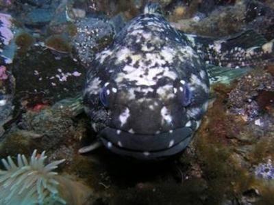 科学家在南极海域发现冬眠鱼(图)