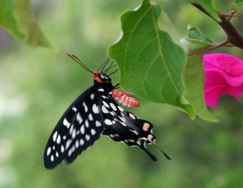 马达加斯加奇妙生物:巨型叶尾壁虎(组图)(2)