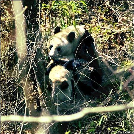 英国摄制组拍到野生大熊猫求爱交配过程(图)