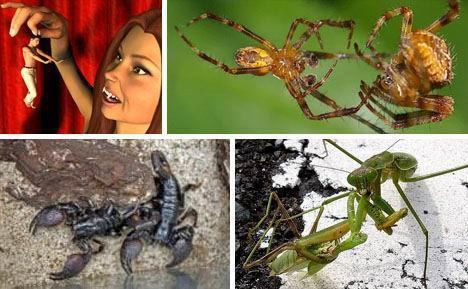 三种噬食配偶的动物:雄蝎交配后被吞食(图)
