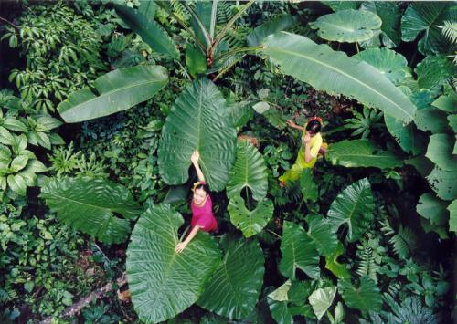 走进西双版纳热带雨林:奇特植物开黑色花