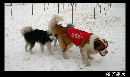 组图:雪地里疯玩的小花狗(9)