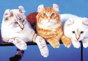 可爱的美国卷耳猫图