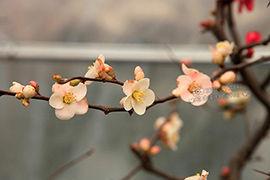 南京:莫愁湖探海棠