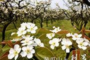 重庆:梨花漫山
