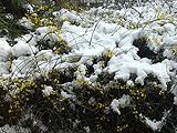 朝阳:大雪难掩灿烂迎春花
