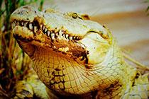 怪兽尼罗鳄